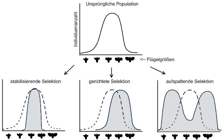 3 Mechanismen der Evolution Entstehung der zufälligen phänotypischen ...